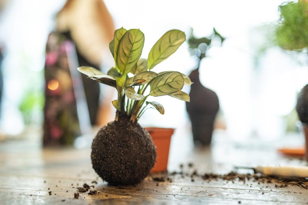 Photo, atelie, kokedama, plante, sphère, terre